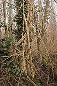 Lierre en sous bois de la forêt alluviale du Rhin supérieur