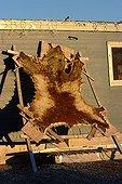 Polar Bear skin drying in the sun on Bathurst Island ; Location : Resolute bay, Bathurst Island