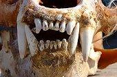 Skull & jaw of Polar Bear sold to tourists Nunavut Canada ; Location : Resolute bay, Bathurst Island