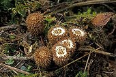 Fluted bird's nests baskets before releasing spores France