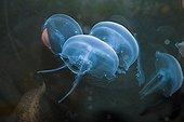 Moon Jellyfish North Sea Germany