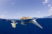 Young Brown Booby fishing Bikini Atoll Marshall Islands