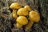 Big laughing Mushrooms on a dead stump Essonne France