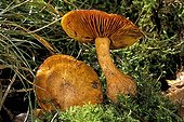 Gymnopilus Mushrooms in the moss Essonne France ;