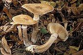 Armillaires couleur de miel en sous bois de feuillus France