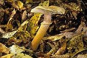 Sujet mature d'Armillaire couleur de miel France