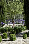 Common box topiaries and cypress in a garden of Provence