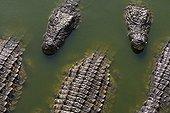 Crocodiles du Nil dans une ferme d'élevage à Djerba Tunisie