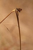 Lulworth Skipper on a twig Var