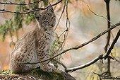 Eurasian Lynx sitting in NP Bayerischer Wald Germany ;