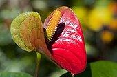 Anthurium in a garden