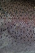 Peau écailleuse d'une Truite arc en ciel fraîchement pêchée ; Pêche au carnassier. Prise de vue au niveau de la ligne latérale, organe de réception des stimuli du milieu. Localisation: Lac artificiel de Brennilis, situé dans les monts d'Arée. Il a servi au refroidissement de la centrale de Brennilis.
