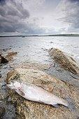Truite arc en ciel fraîchement pêchée dans un lac France ; Localisation: Lac artificiel de Brennilis, situé dans les monts d'Arée. Il a servi au refroidissement de la centrale de Brennilis.