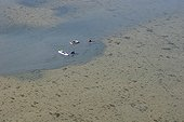 Clam fishermen with their rowing boat Morbihan France