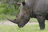 Pique-boeuf à bec rouge sur un Rhinocéros blanc  Kruger