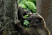 Brown bears fight between trees Bayerisher Wald Germany