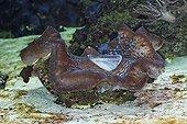 Bénitier géant dans un aquarium d'eau de mer Canada ; Manteau (mollusque). Localisation: à l'Aquarium de Vancouver. Le Tridacne géant ou bénitier géant est le plus gros mollusque bivalve: sa coquille peut mesurer 1,5 m et peser 250 kg.