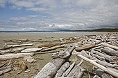 Driftwood stranded on a sandy beach Canada ; Location: in Clayoquot Sound, territory of the Nuu-chah-nulth.