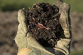 Compost with red earthworm in a garden