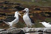 Parade nuptiale d'Albatros à sourcils noirs Iles Falklands ; Localisation: sur la côte de New Island.