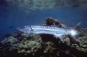 Grand Barracuda et fil de pêche Angarosh Mer Rouge Soudan