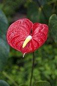 Anthurium inflorescence in a garden in Martinique Island