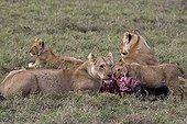 Lionnes et lionceaux dévorant un Gnou Masaï Mara Kenya