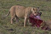 Lionne et Lionceau dévorant un Gnou Masaï Mara Kenya