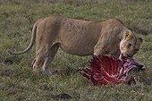 Lionne dévorant un Gnou fraîchement tué Masaï Mara Kenya