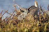 Combattant varié mâle dominant en parade nuptiale Laponie