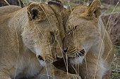 A moment of tenderness between Lionesses Masai Mara Kenya