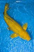 Chagoi yellow koi carp in an turquoise waterFrance
