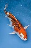 Orange and white koi carp in an turquoise waterFrance