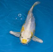 Yellow and white koi carp in an turquoise waterFrance
