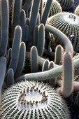 Cactus Tenerife Canary