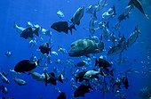 Humphead Wrasse Chubs and Snappers Sha'ab Rumi Red Sea