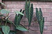 Black Gold Philodendron Orotava botanical garden Tenerife ; City : Puerto de la Cruz