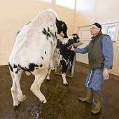 Preparation of Holstein bull before semen sample ; The technician puts the penis of a bull in a sleeve or artificial vagina in which it collects the semen <br><br> Location: Center of animal artificial insemination of Epinal