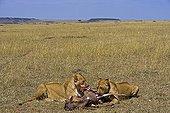 Lionnes mangeant un Gnou dans la savane Masaï Mara Kenya
