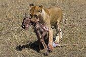 Lionne transportant le cadavre d'un jeune Gnou Masaï Mara