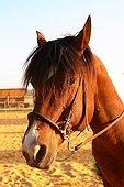 Portrait d'un Cheval de selle dans un centre équestre