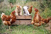 Cock Hens and Cats on a woody box in a garden