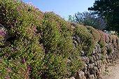 Rose moss along a wall