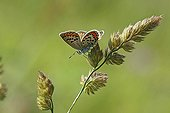 Brown-argus in the spring on the coast Var France