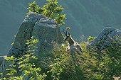 Chamoix au repos sur les rochers dans le massif du Hohneck