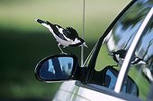 Magpie-lark attacking its own reflection