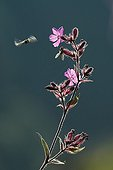 Syrphid fly flying around a Red Campion ; Prairie high stubble in the Massif Hohneck