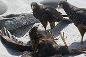 Striated Caracaras fighting on Sea Lion Island Falklands