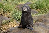 Young Antarctic furseal on a rock Prion Island