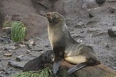 Antarctic furseals resting Elsehul South Georgia